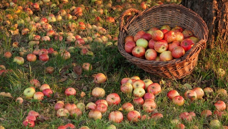 Можно ли яблоки падалицу класть в компост?
