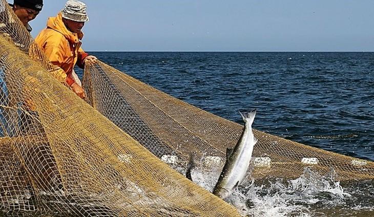 Куда уплыл дальневосточный лосось?