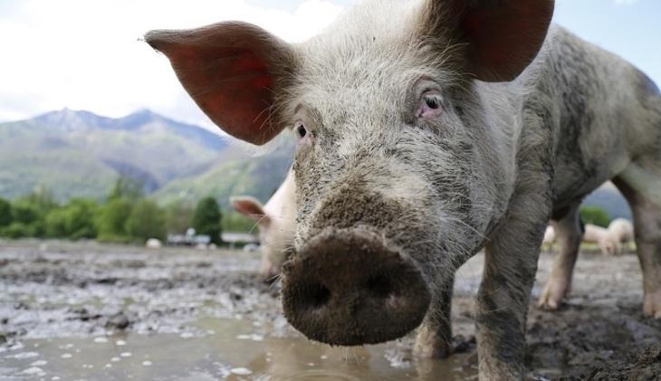 Возбуждено уголовное дело пофакту распространения африканской чумы свиней вИсетском районе