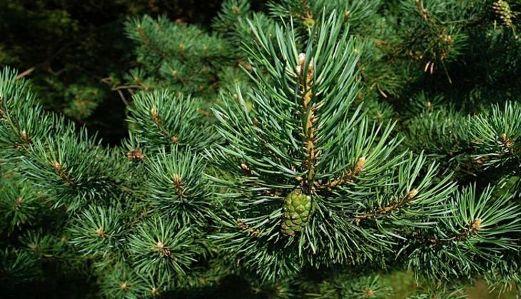 Ученые отыскали вИталии самое старое дерево Европы