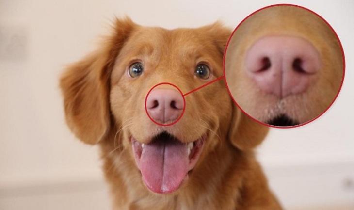 Собачий нос - особая примета - фото