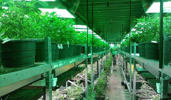В Америке возникло перепроизводство марихуаны - фото